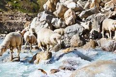 Sheep group Royalty Free Stock Photos