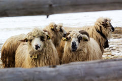 Sheep. Group of sheep, on a farm Royalty Free Stock Images