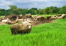 Sheep group in greenfield Royalty Free Stock Photos