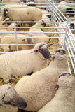 Sheep in shelter Stock Photo
