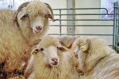 Sheep in shelter Royalty Free Stock Image