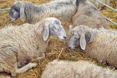 Sheep in shelter Stock Photos