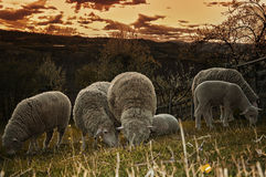 Sheep. Groups of sheep grazing in a pasture Stock Photography