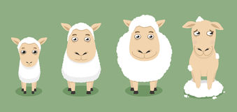 Sheep growth Stock Image
