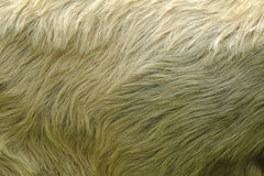 Sheep hair Stock Images