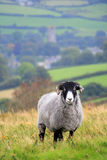 Sheep on Hamel Down Stock Photography