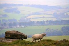 Sheep on Hamel Down Stock Photos