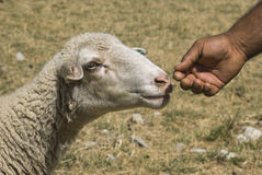 Sheep and hand. Of man Royalty Free Stock Image