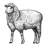 Sheep hands drawing. Vector illustration of engraving sheep hands drawing Royalty Free Stock Image