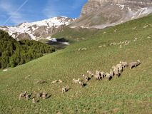 Sheep in haute provence park mercantour near col de vars in sunny meadow with snow capped mountains. In the background royalty free stock images