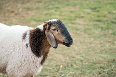 Sheep that have just been shorn on green grass. Alone sheep on green grass Royalty Free Stock Image