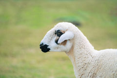 Sheep that have just been shorn on green grass. Alone sheep on green grass Stock Photography