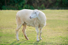 Sheep that have just been shorn on green grass. Alone sheep on green grass Royalty Free Stock Images