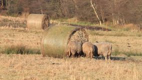 Sheep, hay bale, spring, winter, outside, farming stock footage