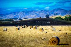 Sheep and hay bales on a meadow in New Zealand. With mountains in background stock photography