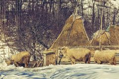 Sheep and haystacks in winter. Winter rural scene with sheep and haystacks in a traditional Romanian sheepfold in Magura village, Brasov county, Romania Royalty Free Stock Image