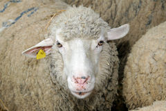 Sheep head Stock Images