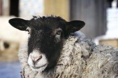 Sheep head Stock Photos