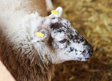 Sheep. Head of  adult felted  sheep Royalty Free Stock Photography