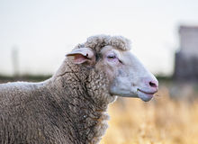 Sheep head brown color Stock Photo