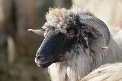 Sheep head Royalty Free Stock Photos