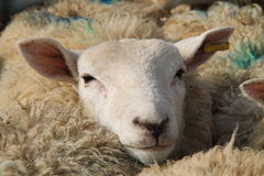 Sheep Head. Stock Images