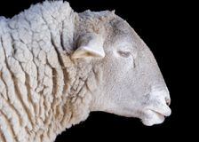 Sheep. A Sheep head over black background Royalty Free Stock Image
