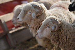 Sheep head Stock Photography