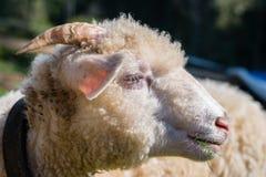 Sheep head Stock Image