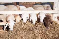 Sheep head and straw Royalty Free Stock Photography
