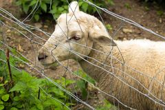 Sheep head in wired fence royalty free stock photos