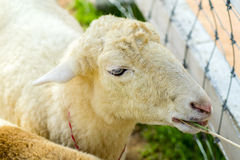 Sheep Head. Royalty Free Stock Photos
