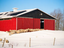 Sheep heading to red barn. Stock Photo