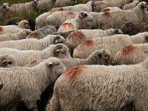 Sheep heard Royalty Free Stock Images