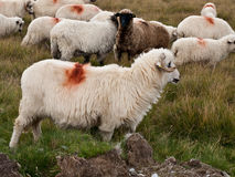 Sheep heard Royalty Free Stock Image