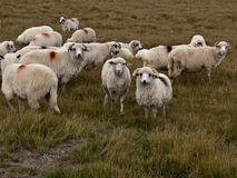 Sheep heard Stock Photography