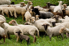 Sheep heard Stock Images
