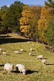 Sheep heard Stock Photos
