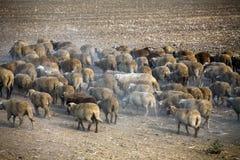 Sheep heard Royalty Free Stock Photography