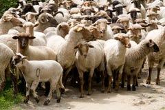 Sheep heard Stock Photo