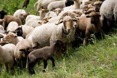 Sheep heard Stock Image