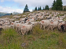 Sheep heard Stock Images