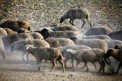 Sheep heard Stock Photography