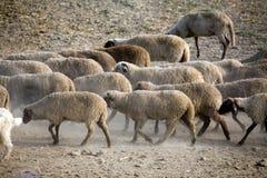 Sheep heard walking Royalty Free Stock Image