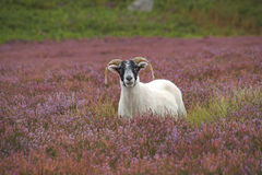 Sheep in the heather Stock Photo
