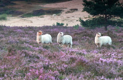 Sheep in heather flowers. Sheep in pink heather flowers stock photo
