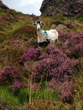 Sheep in the heather Stock Images