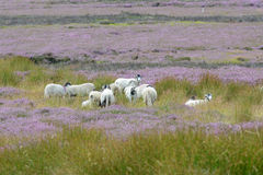Sheep and heather on the north Yorkshire moors UK Stock Photo
