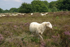 Sheep on heathland Stock Image