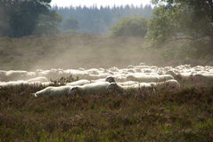 Sheep on heathland Stock Images